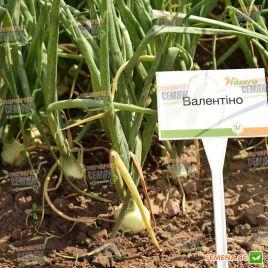 Валентино F1 семена лука репчатого среднего (Hazera)
