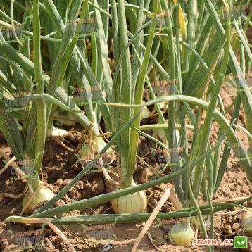 Меранто F1 семена лука репчатого тип Испанский среднего 115 дн. желтого (Hazera)