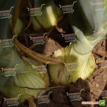 Тареско F1 семена лука репчатого среднего 120 дн. 160-200 гр. желтого (Hazera)