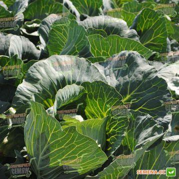 Авак F1 семена капусты белокачанной поздней (Moravoseed)