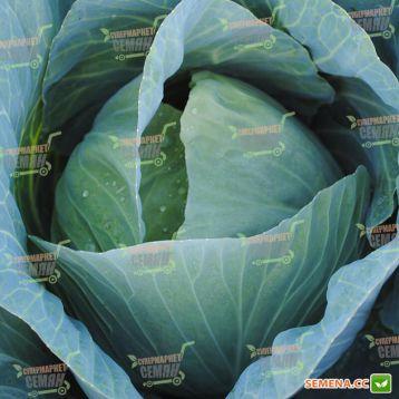 Адаптор F1 семена капусты б/к среднепоздней (Syngenta)