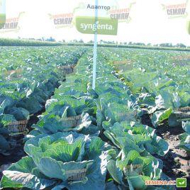 Адаптор F1 семена капусты б/к поздней 115-125 дн. 3-4 кг окр. (Syngenta)