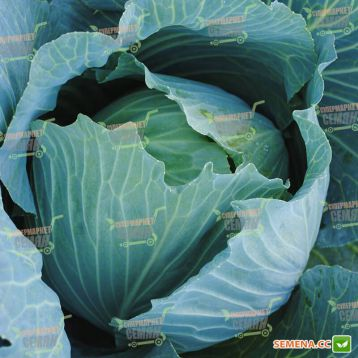 Аммон F1 (Ammon F1) семена капусты б/к поздней 125-135 дн. 4-6 кг окр.-припл. (Seminis)