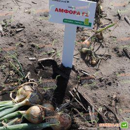 Амфора F1 семена лука репчатого позднего 135-140 дн 190 гр (Moravoseed)