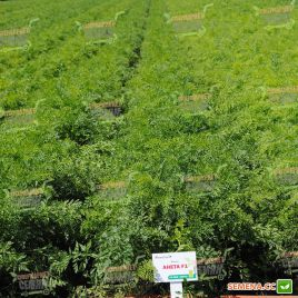 Анета F1 семена моркови Нантес среднеранней 100-105 дн. (Moravoseed)
