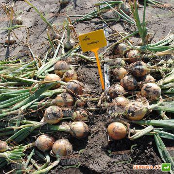 Антилопа F1 (Antelope F1) семена лука репчатого среднеспелого 115 дн длинного дня (Seminis)