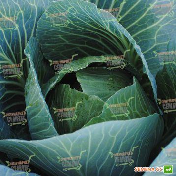 Арривист F1 (Arrivist F1) семена капусты б/к среднепоздней 115-120 дней 2-4 кг окр. (Seminis)