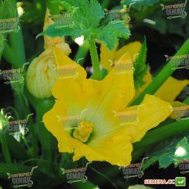 Атилла F1 семена кабачка раннего светло-зеленого куст. (Lucky Seed)
