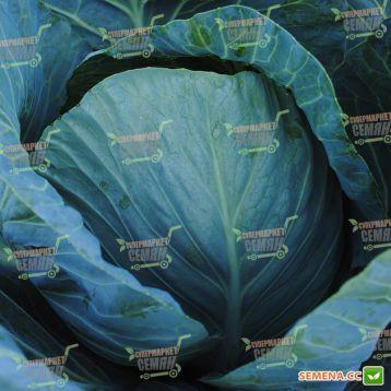 Атрия F1 семена капусты б/к среднепоздней (Seminis)