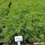 Афалон F1 семена моркови Нантес/Берликум (Moravoseed)