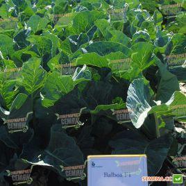 Балбоа F1 семена капусты цветной средней 89 дн 2кг бел. (Bejo)