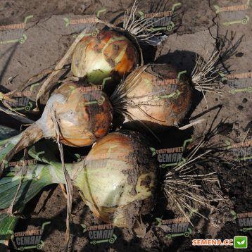 Братко F1 семена лука репчатого среднего дня среднего 115-120 дн. 200-250 гр. желтого (Syngenta)
