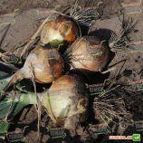 Братко F1 семена лука репчатого среднего дня среднего 115-120 дн. 200-250 гр. (Syngenta)
