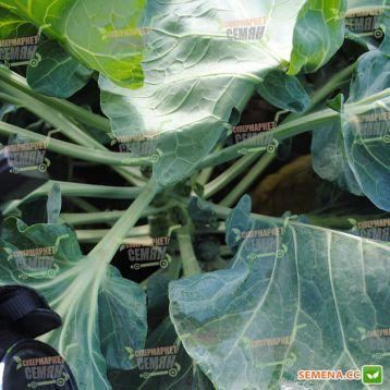 Бриллиант F1 семена капусты брюссельской (Hazera)