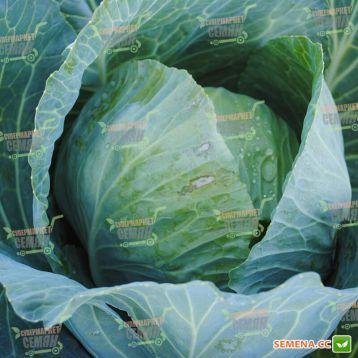 Вестри F1 семена капусты б/к средней (Seminis)