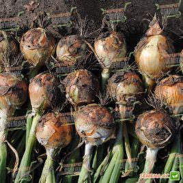 Фронтино F1 семена лука репчатого позднего желтого (Hazera)