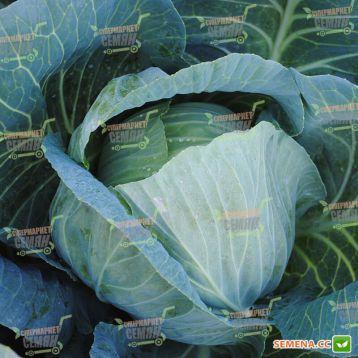Девотор F1 семена капусты б/к среднепоздней 105-110 дн. 3,5-4 кг окр. (Syngenta)