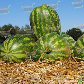Династи (HSR 4657) семена арбуза тип Крымсон Свит (Hollar Seeds)