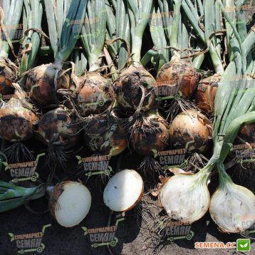 1004 F1 семена лука репчатого (Esasem)