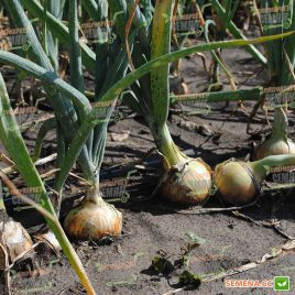 Дорика F1 (1004 F1) семена лука репчатого среднего 150г (Esasem)