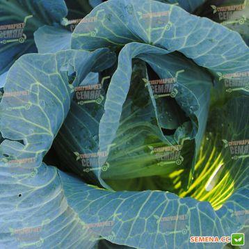 Экспект F1 семена капусты б/к поздней 140дн 3-4кг окр. (Bejo)