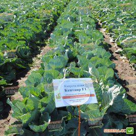 Кентавр F1 семена капусты б/к поздней 130-145 дн. 2,5-3 кг (Lucky Seed)