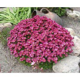 Пурпурный ковер семена камнеломки (Hem Zaden ПН)