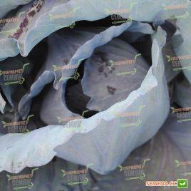 Климаро F1 семена капусты к/к поздней 120 дн. 3 кг (Bejo)