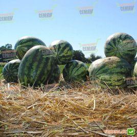 Кримстар F1 семена арбуза тип Крымсон Свит (Sakata)