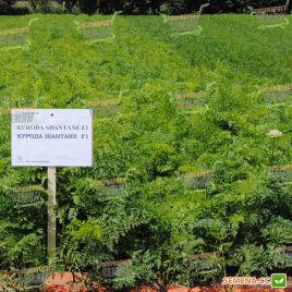 Курода Шантане семена моркови Шантане ранний 100 дн. (Sakata)