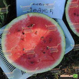 Ледус F1 (#39 F1) семена арбуза тип Кримсон Свит (Lark Seeds)