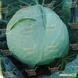 Нозоми (TRC-1) F1 семена капусты б/к ранней 60 дн. 1,2-1,8 кг (калибр.) (Sakura)
