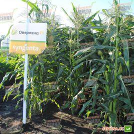 Оверленд F1 семена кукурузы суперсладкой Sh2 поздней 84дн. 20см 18-20р. (Syngenta)