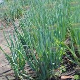 Параде семена лука на перо раннего 70дн. темно-зеленого (Bejo)