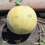Паспорт F1 семена дыни тип Галия средней 75-80 дн. 2-3 кг окр. жел./зел. (Hollar Seeds)