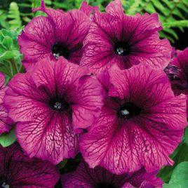 Лимбо F1 сливовая семена петунии грандифлора (Hem Zaden ПН)