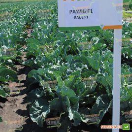 Рауль F1 семена капусты цветной средней 90-95 дн. 2-3 кг бел. (Hazera)
