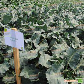 Регги F1 (калибр.) семена капусты брокколи средней 70-80 дн. 0,8-1 кг (Rijk Zwaan)