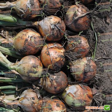 Стартер F1 семена лука репчатого раннего (Hazera)