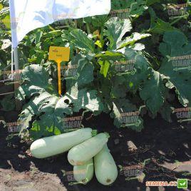Сцилли F1 (Scilly F1) семена кабачка раннего светло-зеленого (Seminis)