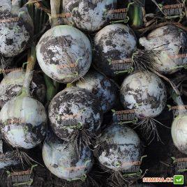 Сьерра Бланка F1 (Sierra Blanca F1) семена лука репчатого среднего дня ультраранего 90-95дн. белого (Seminis)