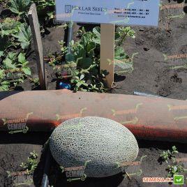 Тамара F1 семена дыни Ананас (Hollar Seeds)