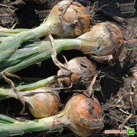 Унико F1 семена лука репчатого среднего 128-131 дн 130-135 гр (Moravoseed)