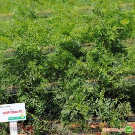 Харизма F1 семена моркови ранней 115-120 дн (Moravoseed)
