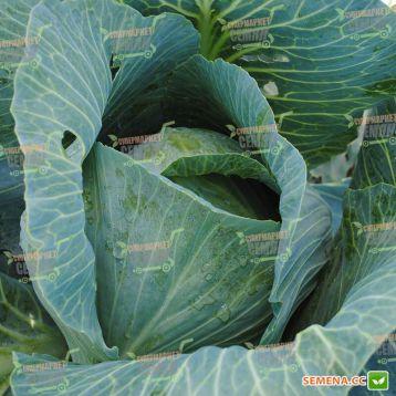 Сиркон F1 семена капусты б/к поздней 145 дн 3-4 кг окр. (Bejo)