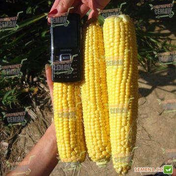 Алойзия F1 семена кукурузы суперсладкой Sh2 ранней 75дн. 20-21см 16-18р. (Semo)