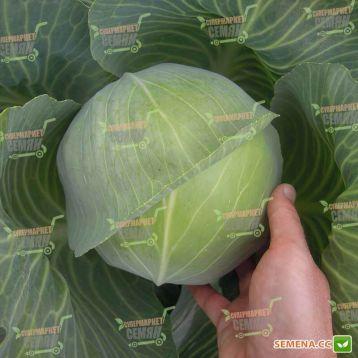 Уникат F1 семена капусты б/к ранней 65-70 дн. 1,5-2 кг окр. (Semo)