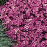 Лотти розовый семена арабиса (Pan American)