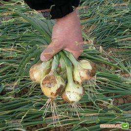 Августа семена лука репчатого озимого (Semo)