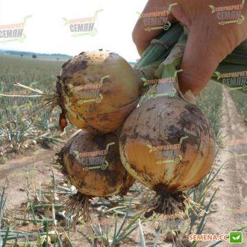 Дагмар семена лука репчатого длинного дня среднего 110-120 дн. 140-160 гр. (Semo)